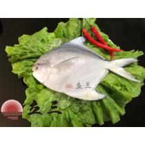 【立三】白鯧魚禮盒A(300~400g 5隻/組)